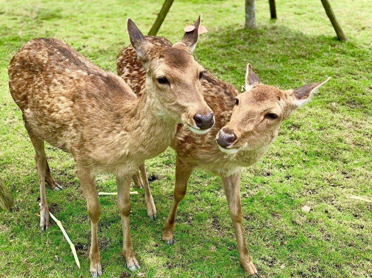 「斑比山丘」飼養的可愛梅花鹿。記者張芳瑜/攝影