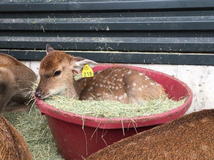 可愛的小鹿在斑比山丘與大家見面。圖/斑比山丘提供