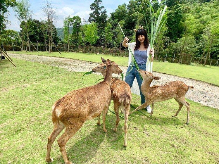 「斑比山丘」提供遊客與梅花鹿近距離互動。記者張芳瑜/攝影