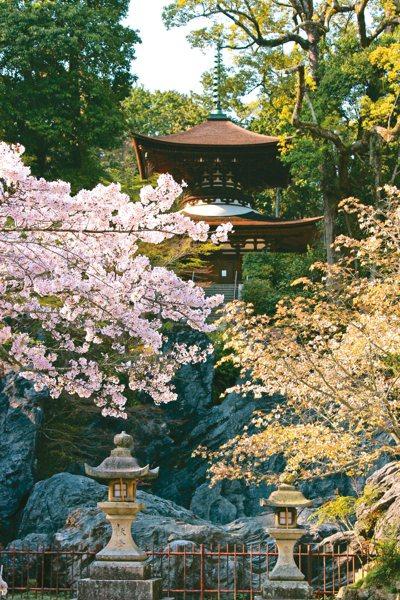自3月中旬起至4月上旬期間,石山寺的櫻花依品種陸續盛開,帶來古刹與花卉相互輝映之...