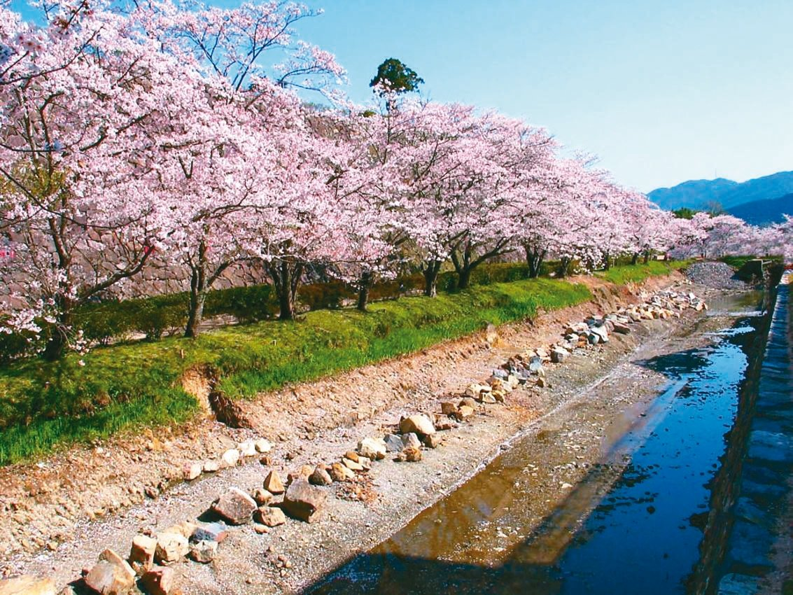 在篠山城下町,團員可以欣賞千株櫻花花海盛開之姿。 圖/有行旅提供
