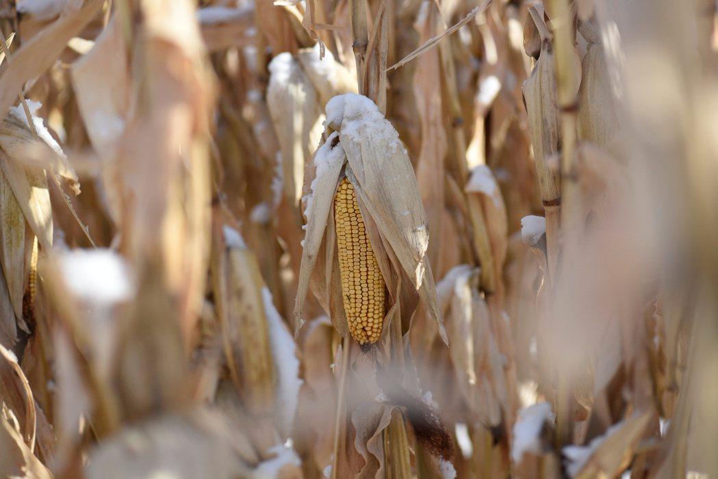 圖為遭受凍傷的玉米。(路透)