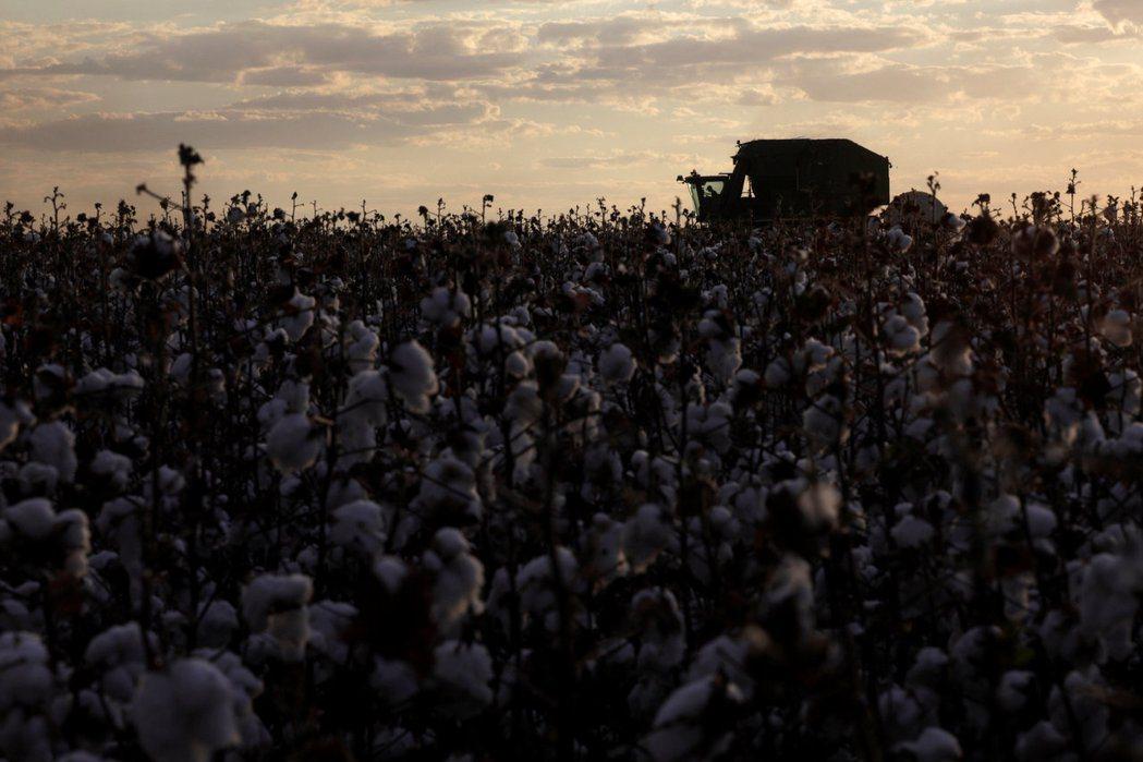 中國在貿易戰期間也減少了向美國採購棉花的數量。圖為巴西一處棉花田。(路透)