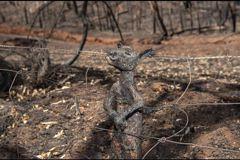 鐵絲網上的袋鼠焦屍…澳洲大火中 保育和危害的雙面刃