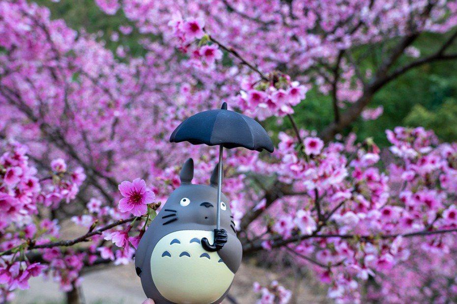 熊空櫻花林今年更名為大熊櫻花林。圖、影片/ 廖學雄授權