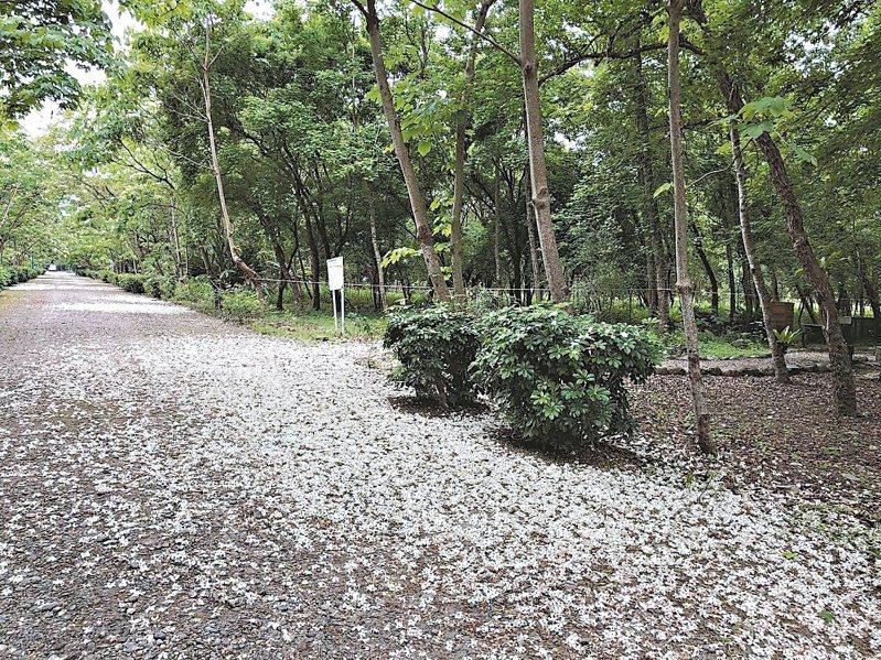 南華林業園區4月桐花開時,雪白花毯迷人。 圖/花蓮林管處提供