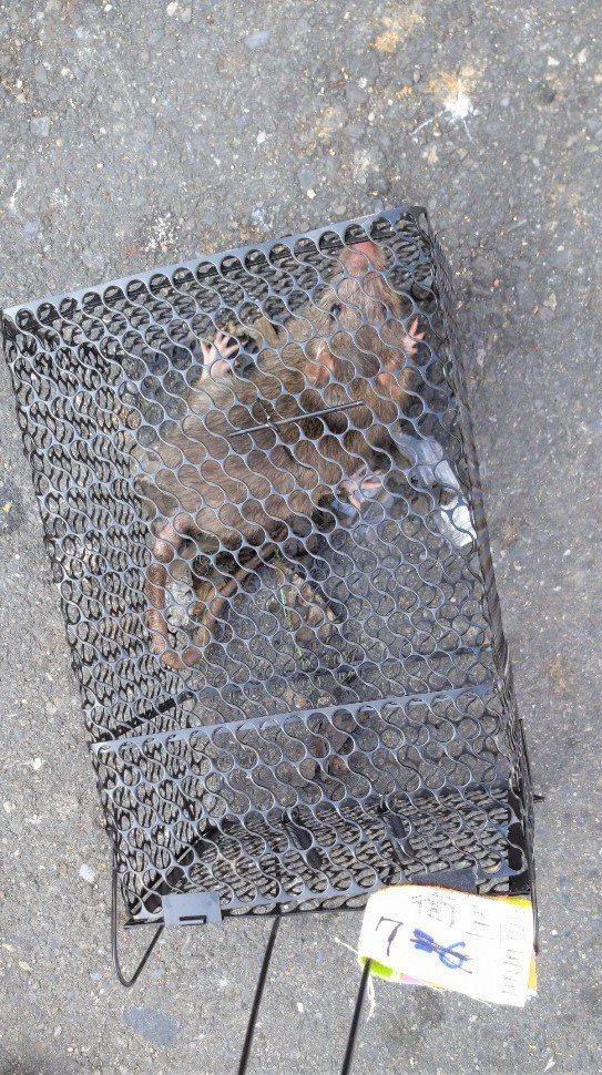 防疫團隊在個案居住地及工作地展開捕鼠行動。圖/高雄市衛生局提供