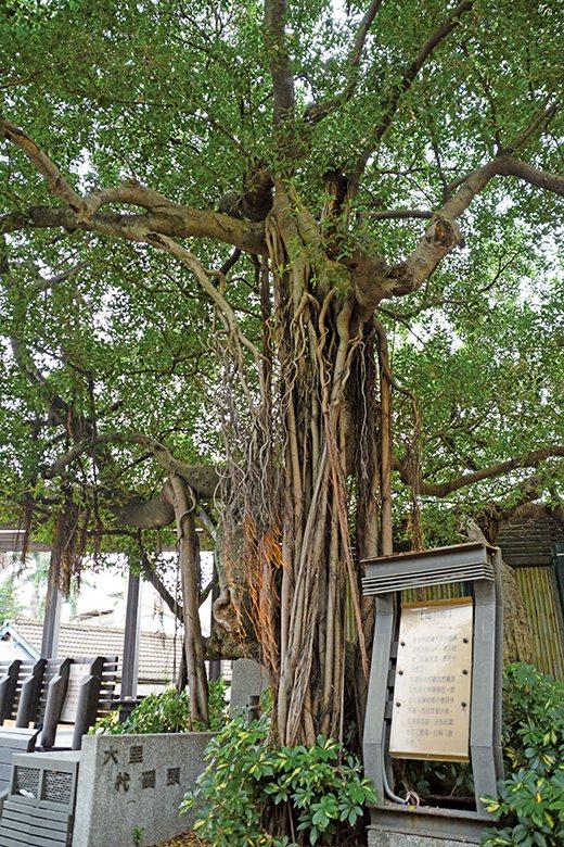 「倒栽榕」距離大里市福興宮約百餘公尺,樹形壯闊、枝葉茂盛,歷史十分悠久。 【圖‧...