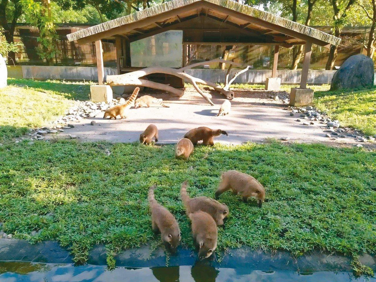 高雄壽山動物園將有新成員加入,與花蓮新光兆豐農場進行動物交流計畫,要引進長鼻浣熊...