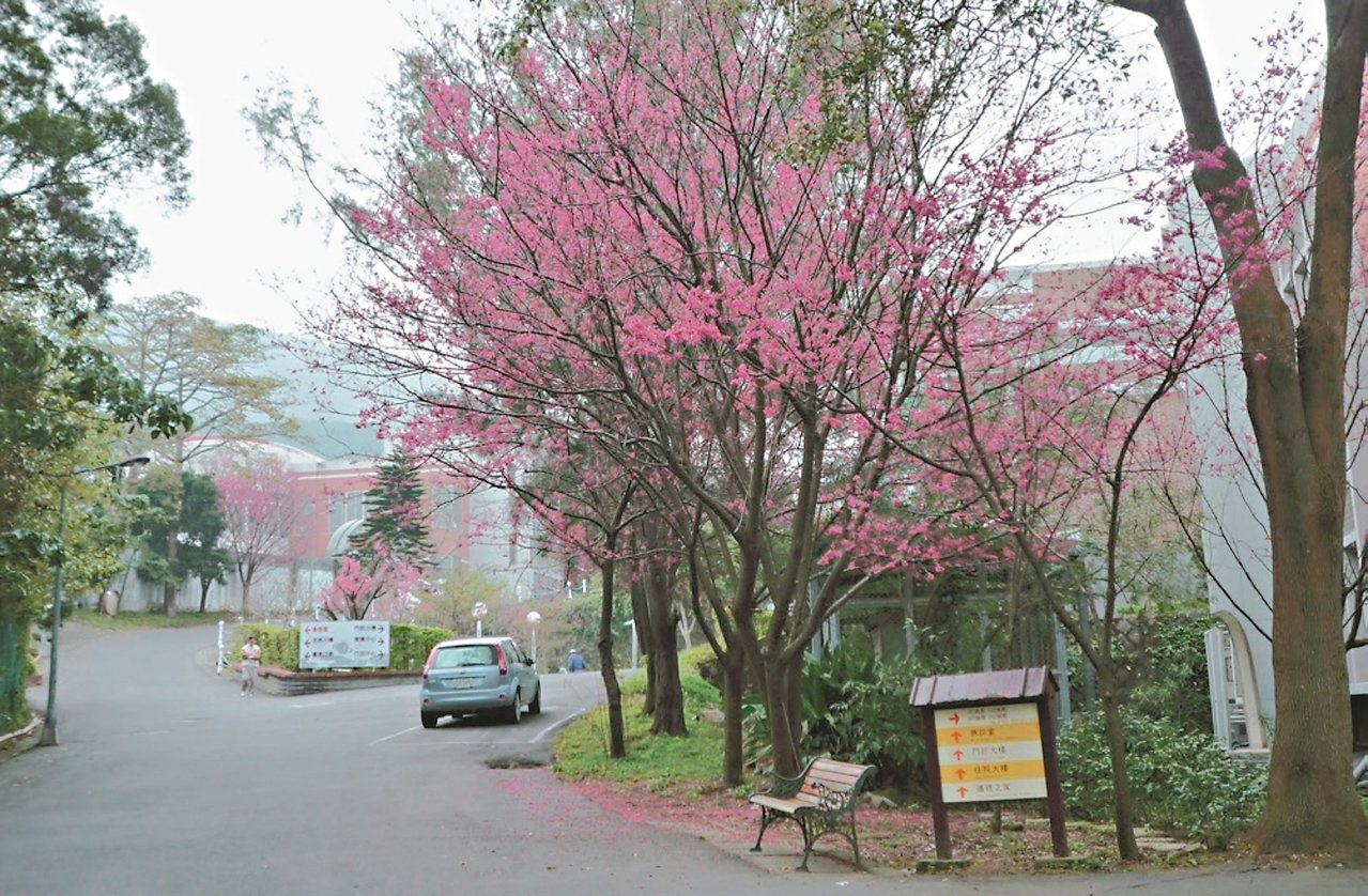新北八里療養院前的櫻花已經盛開。 圖/新北景觀處提供