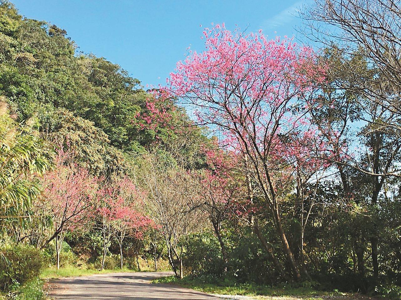 新北石碇櫻花也開始綻放。 圖/新北景觀處提供
