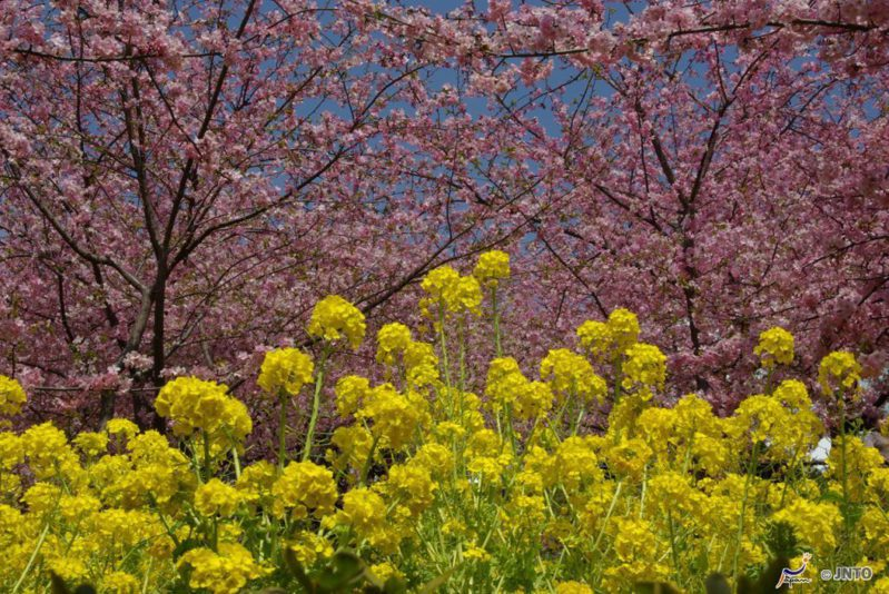 ▲2020日本櫻花景點推薦-靜岡河津櫻。(圖/©Yasufumi Nishi/©JNTO)