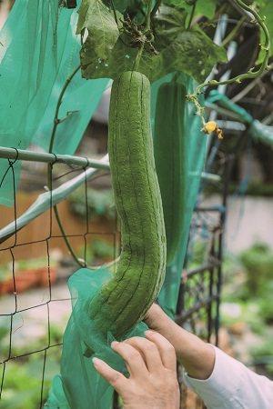 親手栽種不僅能吃得安心,也具有紓壓功用。(攝影∕蔡耀徵)