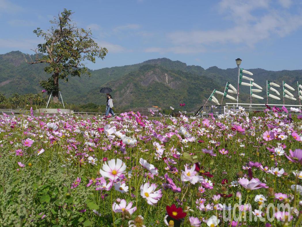 美濃湖一帶波斯菊盛開景觀。記者徐白櫻/攝影