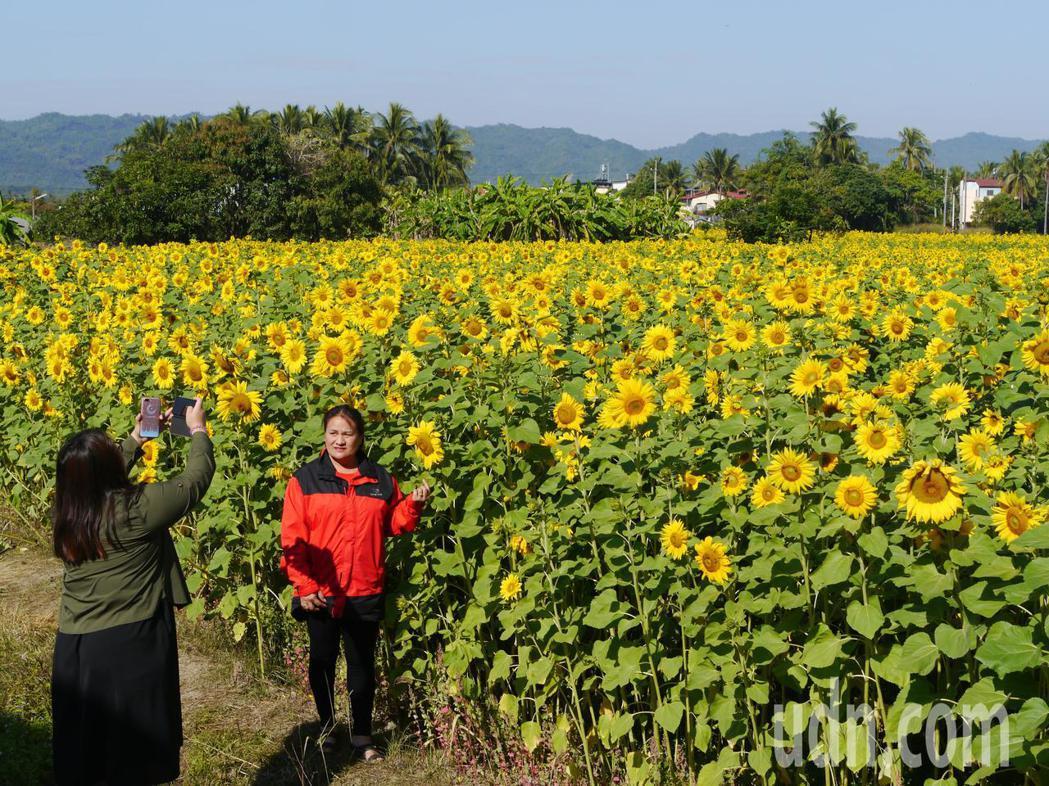 高雄杉林花田以向日葵為主,盛開景觀已經吸引遊客下田打卡拍照。記者徐白櫻/攝影