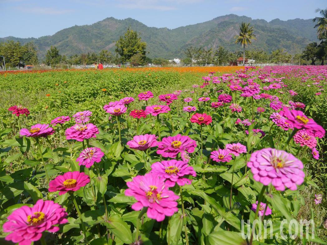 美濃湖附近的百日草盛開,吸引遊客拍照分享。記者徐白櫻/攝影