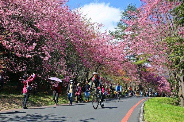 武陵農場櫻花季每日限6,000人。圖/公路總局提供
