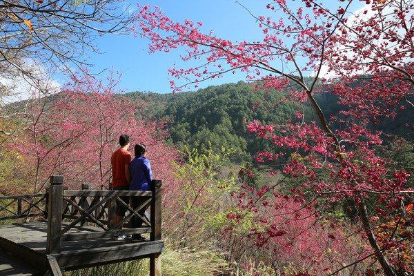 武陵農場櫻花季自2月8日到2月底間開跑。圖/公路總局提供