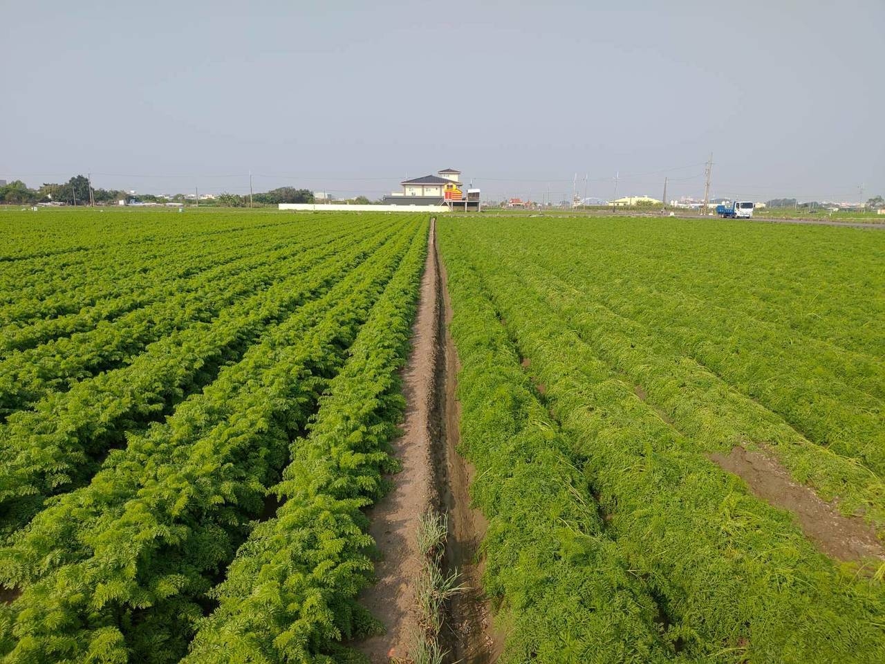南市胡蘿蔔雨災,明起至24日農戶可提現金救助申請。圖/台南市政府農業局提供
