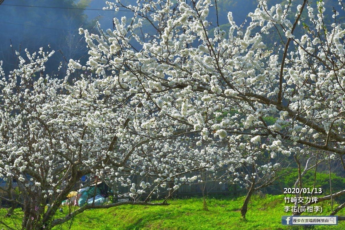 當地果園業者表示,今年李花花況更勝去年。圖/漫步在雲端的阿里山授權使用