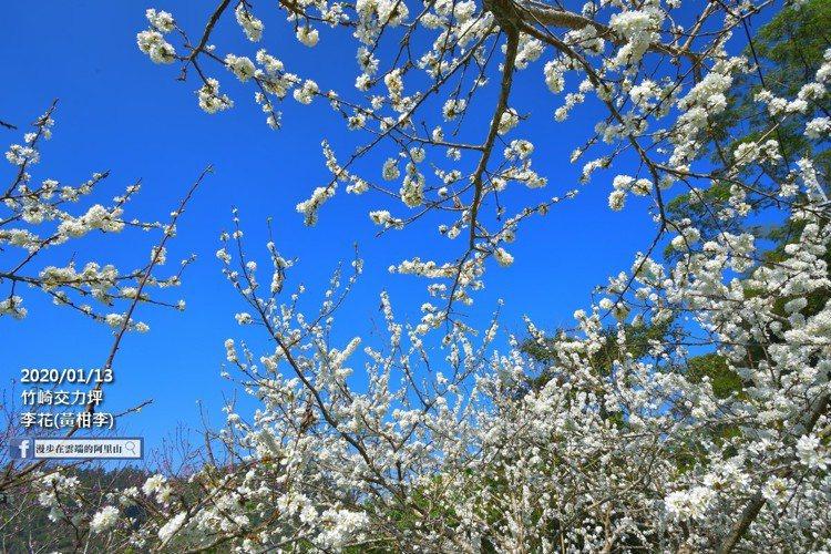 雪白的李花與藍天相映,十分浪漫可愛。圖/漫步在雲端的阿里山授權使用