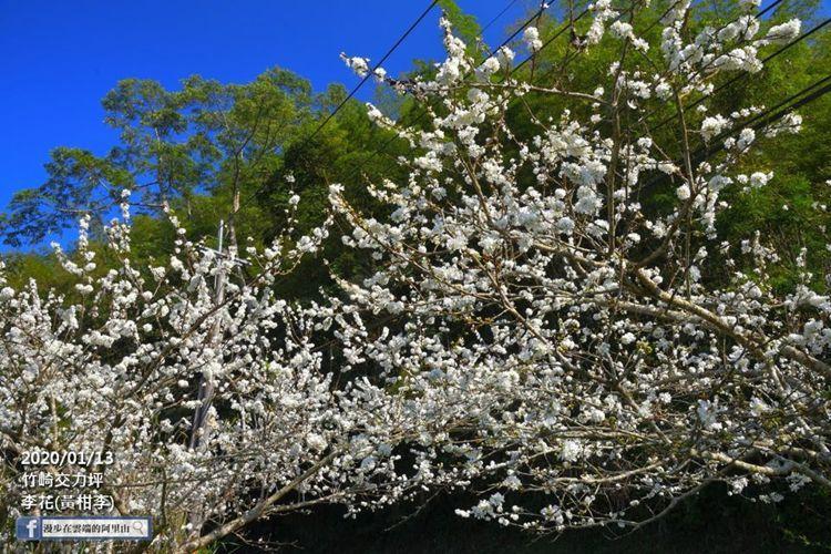 阿里山的竹崎交力坪的李花目前盛開當中。圖/漫步在雲端的阿里山授權使用
