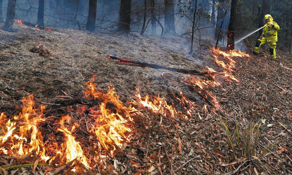 澳洲新南威爾斯省幾乎三分之一的無尾熊死於此次山林大火中。 (路透)
