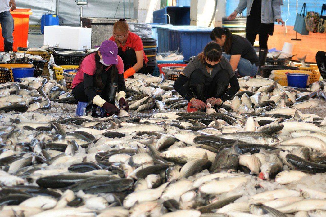 野生烏魚的漁獲量是看天吃飯,養殖烏魚的技術讓市場價格較穩定。 圖/聯合報系資料照