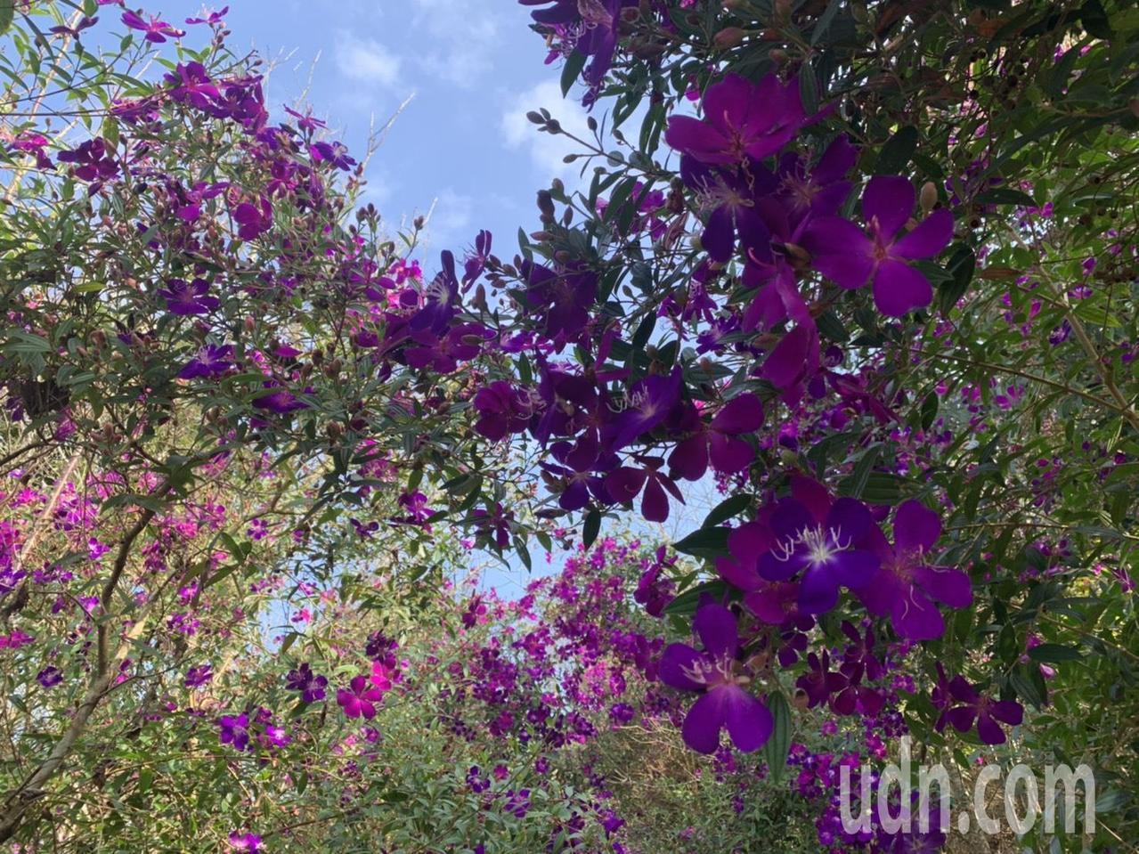 台南梅嶺紫牡丹盛開,是新春賞花最佳景點之一。記者吳淑玲/攝影