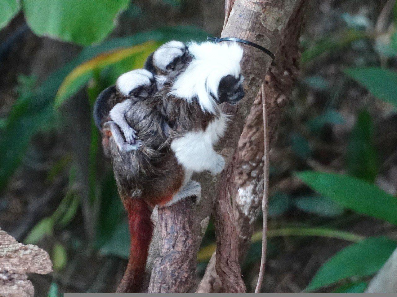 台北市立動物園穿山甲熱帶雨林館的棉頭絹猴「白金眷侶」小夫妻晉升為父母了。圖/台北...