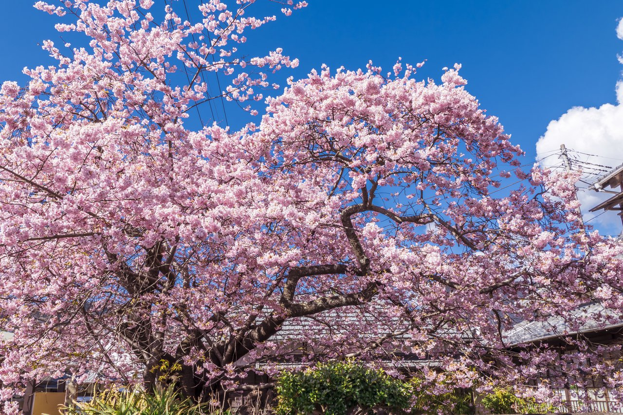 已經有60餘年歷史的河津櫻原木,乃是全日本河津櫻的始祖。圖/樂天旅遊提供