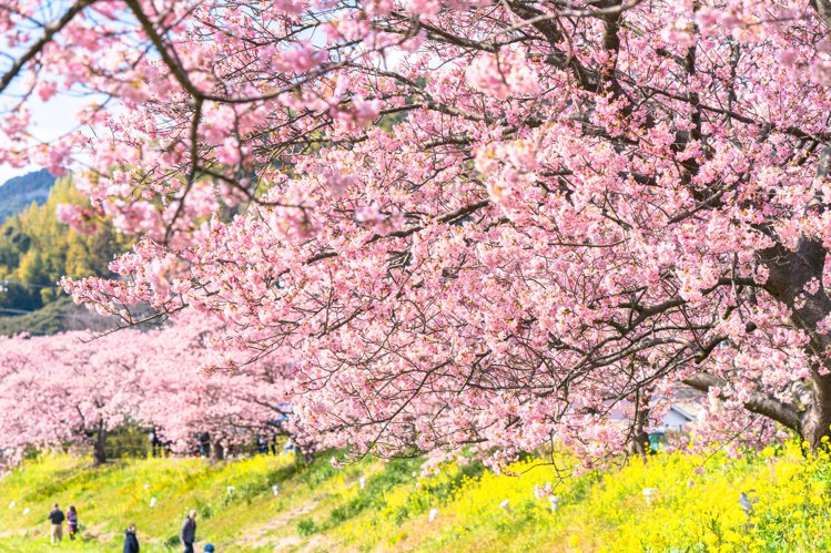 「南之櫻與油菜花祭」將於今年2月10日登場。圖/樂天旅遊提供
