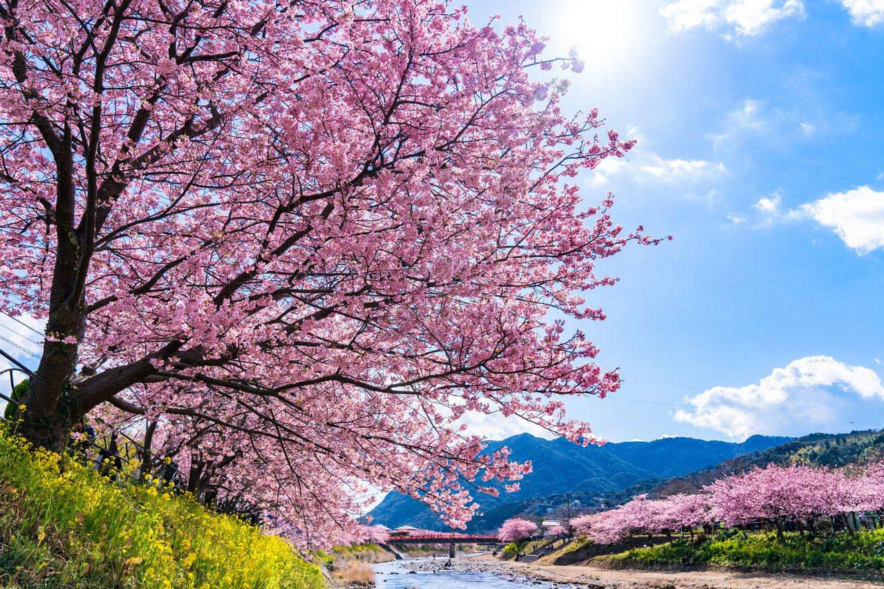 可看見超過8,000株櫻花的河津櫻花祭,今年將邁入第30屆。圖/樂天旅遊提供