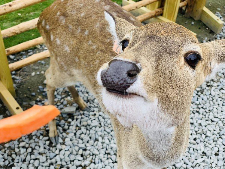 胡蘿蔔條是梅花鹿喜愛的食物之一,建議折半餵食,增加餵食次數。記者張芳瑜/攝影
