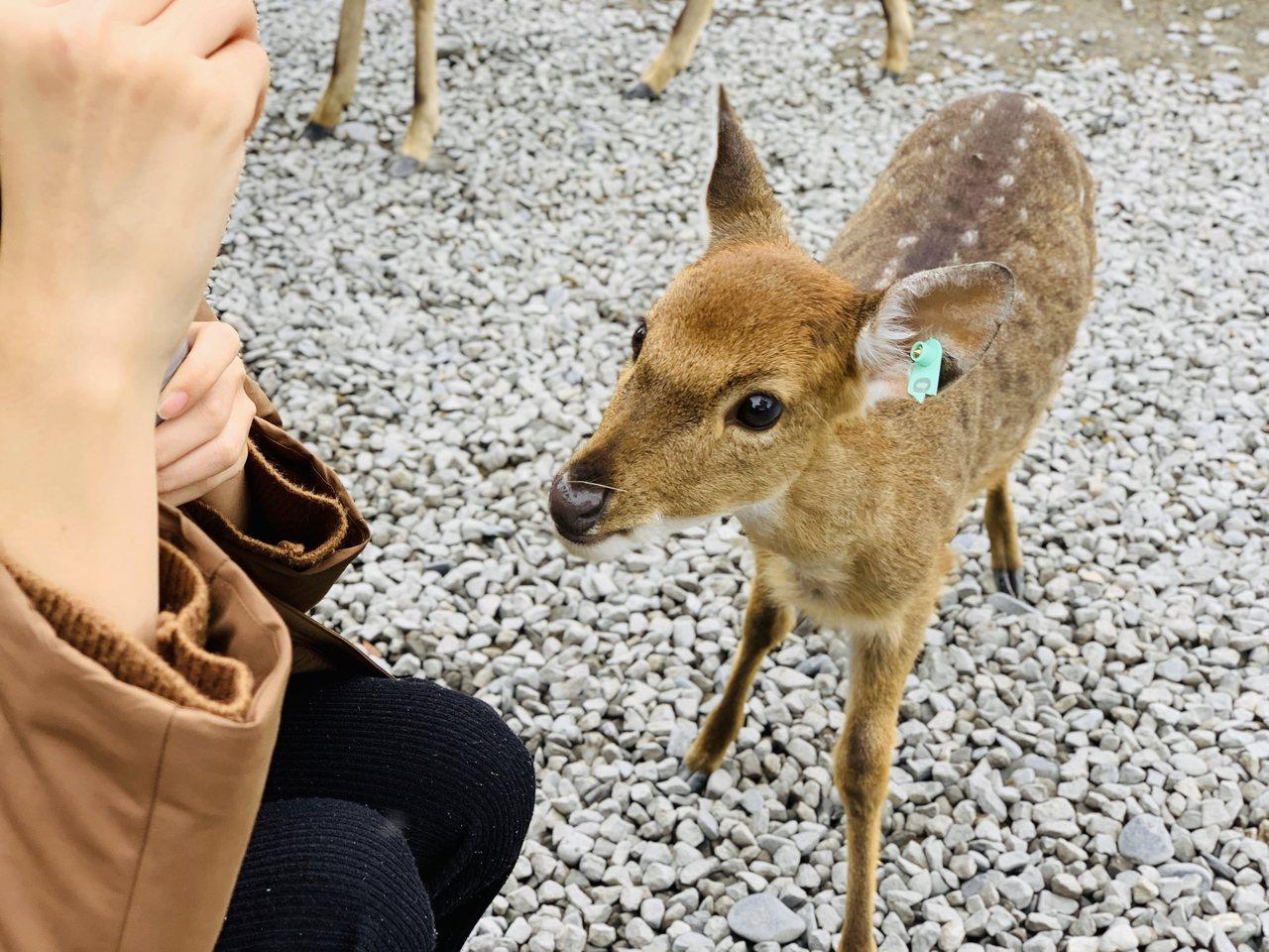 斑比山丘剛出身5個月的小鹿人人愛。記者張芳瑜/攝影