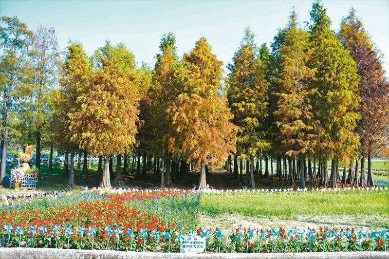 台南六甲落羽松因今年氣溫低,葉片轉紅更漂亮。 記者吳淑玲/攝影
