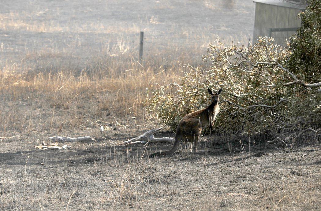 一隻袋鼠在火舌肆虐後光禿禿的土地上張望。 (歐新社)
