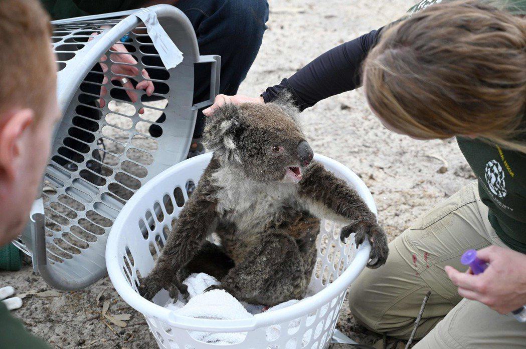 國際組織參與澳洲野火救援,撿到一隻飽受驚嚇的無尾熊。 (法新社)