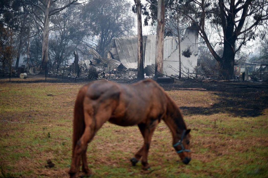 一匹馬低頭吃草,牠身後的房屋及樹木已被野火燒毀。 (法新社)