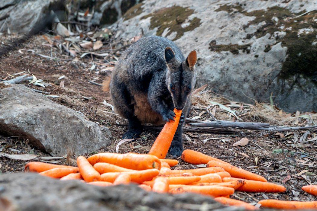 新南威爾斯省空投數千公斤的胡蘿蔔和地瓜給袋鼠吃。 (路透)