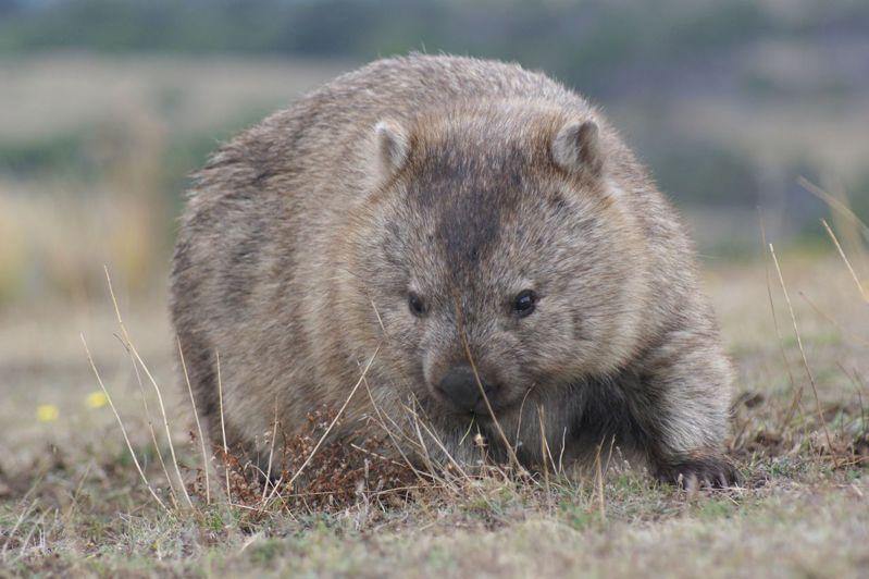 袋熊的地洞網絡龐大且複雜,可避開地面上惡劣環境,目前已知有一些小型哺乳類動物會利用袋熊洞穴,從澳洲森林大火中自救。 法新社