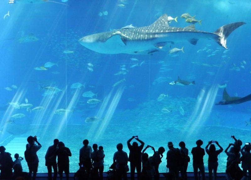 日本沖繩水族館是必遊景點之一。 圖/徐白櫻攝影