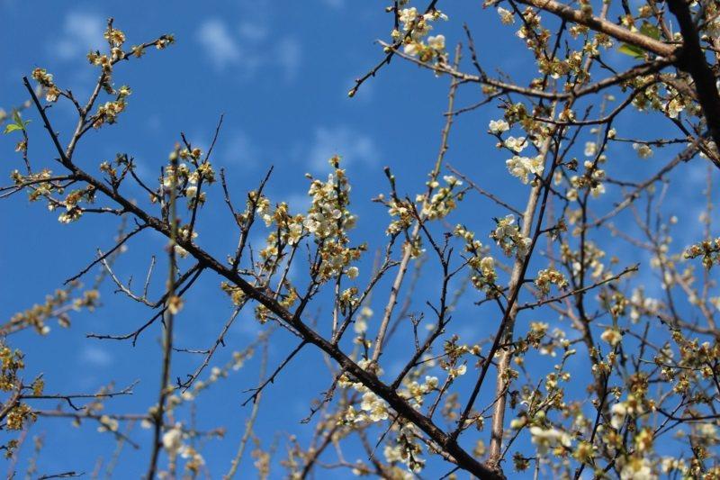 清大梅園是著名的平地賞花地點,現在梅花盛開宛如爆米花。 圖/張雅婷攝影