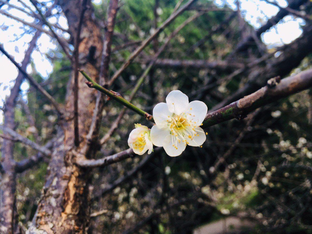 清大梅園是著名的平地賞花地點,今年還開出6瓣的梅花,校方也嘖嘖稱奇。 圖/張雅婷...