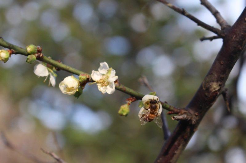 清大梅園是著名的平地賞花地點。 圖/張雅婷攝影