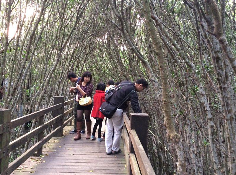 新竹縣新豐鄉紅毛港紅樹林生態遊憩區讓遊客除了戲水觀海之外,還能透過紅樹林步道的知性之旅,近距離的體驗紅樹林生態的奧祕。記者莊旻靜/攝影