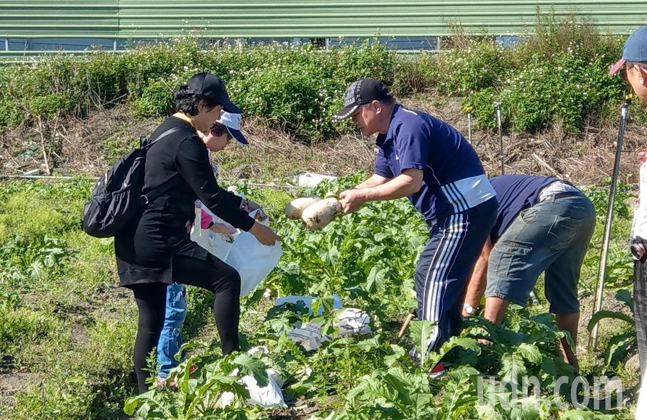 「愛瘋宜蘭」特別安排遊客拔蘿蔔等當季蔬菜,體驗當農夫樂趣。記者戴永華/攝影