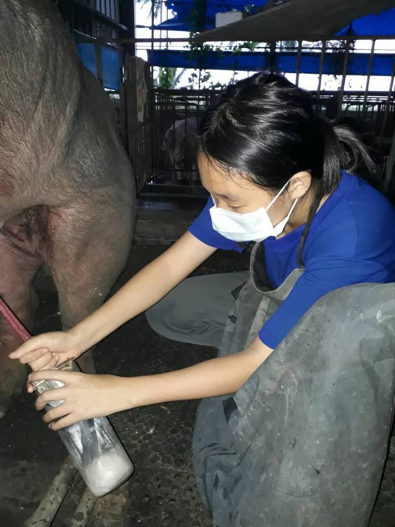 佳冬高職畜產保健科的余欣諭,家中是屏東30年的傳統養豬戶,幫豬隻接生對她而言不是難事,今年透過特殊選才錄取興大動物科學系,希望學以致用。圖/興大提供