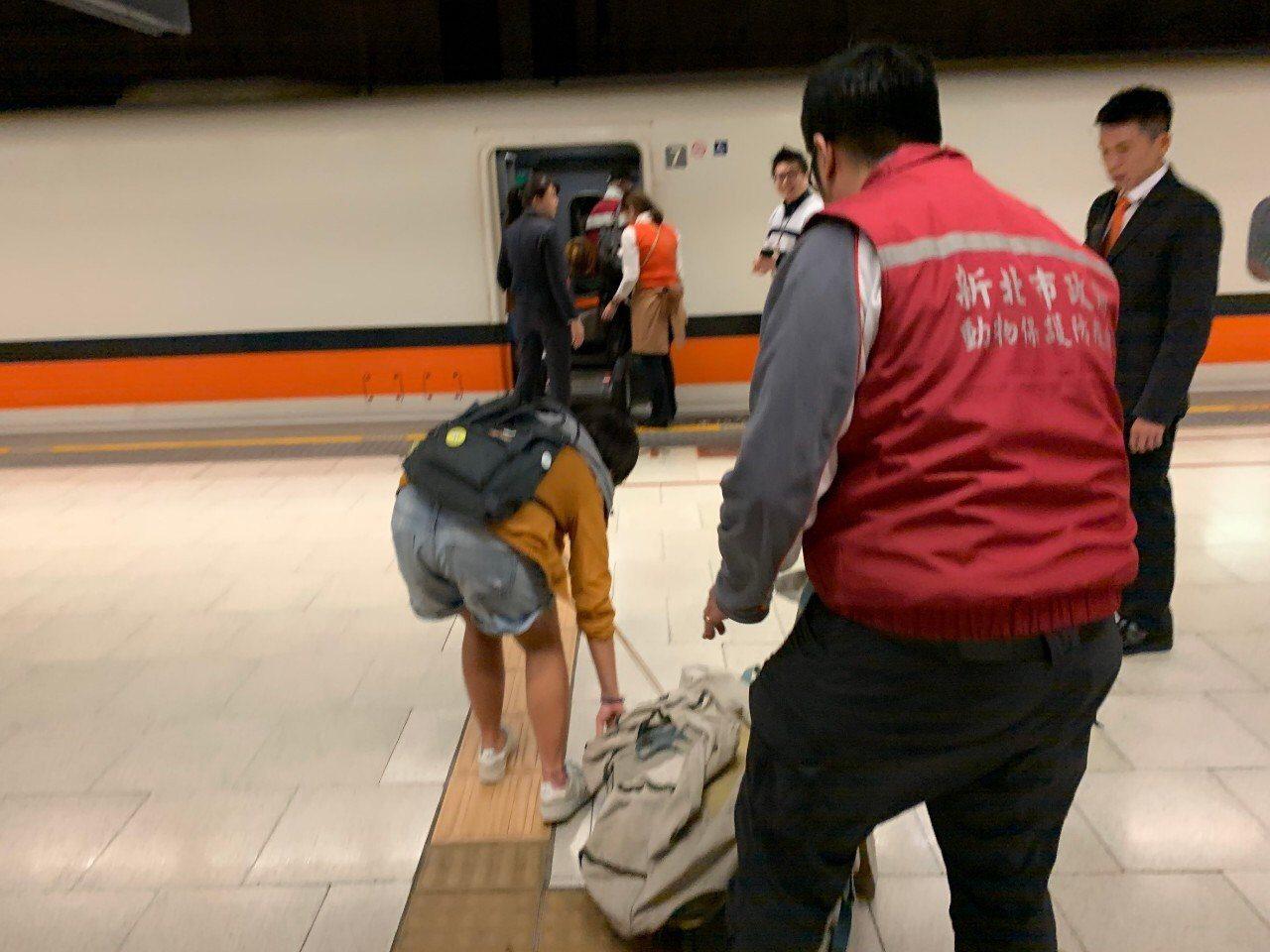 高鐵最特別旅客,傷龜石門沙灘擱淺專人送屏東海生物。圖/新北市政府動保處提供