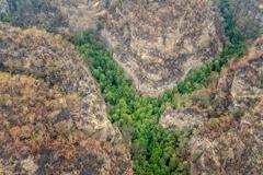 「恐龍樹」剩不到200棵 澳洲秘密搶救以免遭野火滅絕